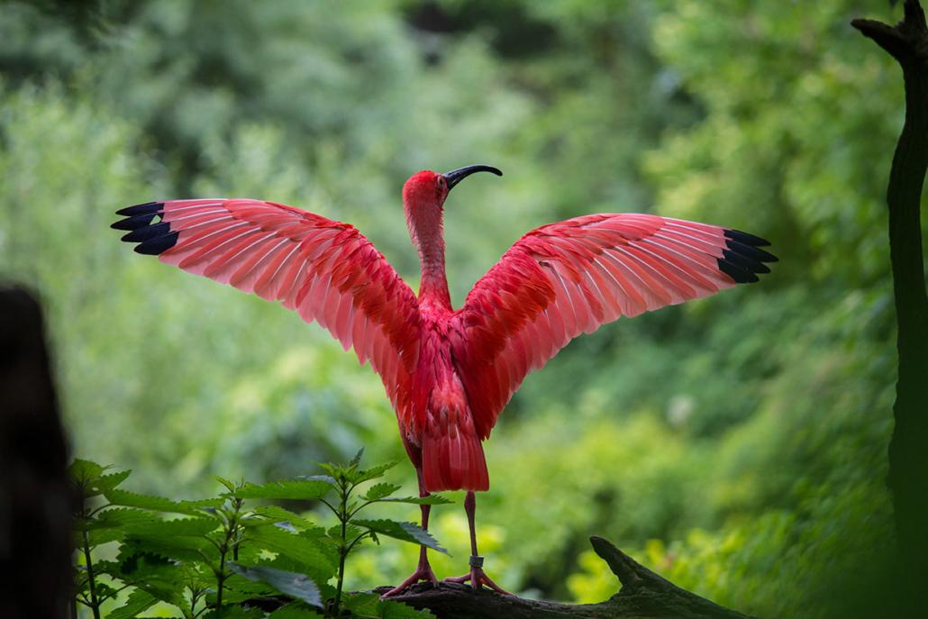 Ibis rouge Delta du Parnaiba Brésil voyage