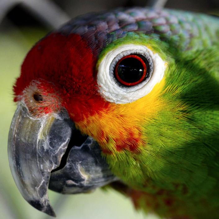 Perroquet Amazonie Brésil voyage